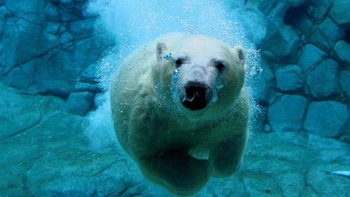 Oso Polar nadó durante nueve días consecutivos en busca de hielo